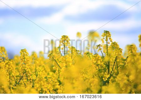 A field of yellow rape, spring rural scene