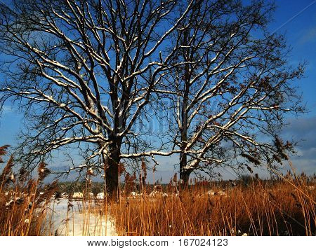 Snowy winter trees near the river. High contrast image. Sunny day, orange grass and blue sky do this pic unreal.
