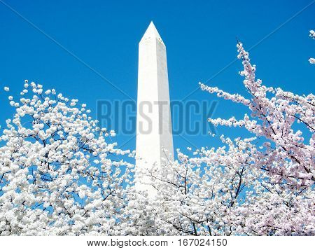Cherry Blossoms and Washington Monument in Washington USA March 31 2010