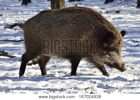 central europen boar going in forest and looking for food