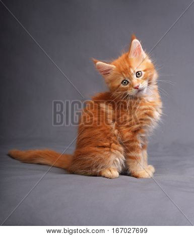 Funny Adorable Red Solid Maine Coon Kitten Sitting With Beautiful Brushes On The Ears On Grey Backgr