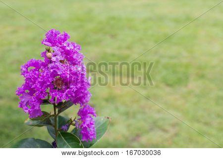 Flower (lagerstroemia, Crape Myrtle)