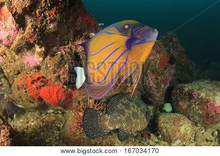 Ringed Angelfish fish