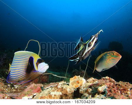 Emperor Angelfish, wrasse and butterflyfish