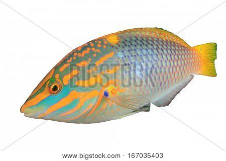 Colourful tropical sea fish isolated on white background. Checkerboard Wrasse fish