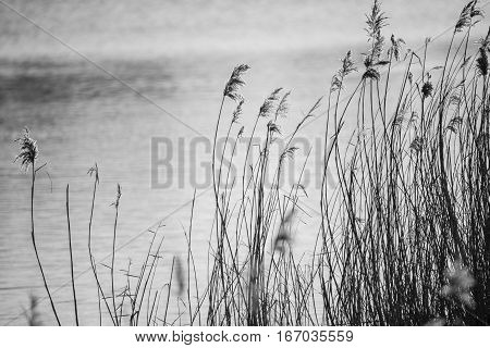 Beautiful Black And White Landscape Image Of Reeds In Winter Lake