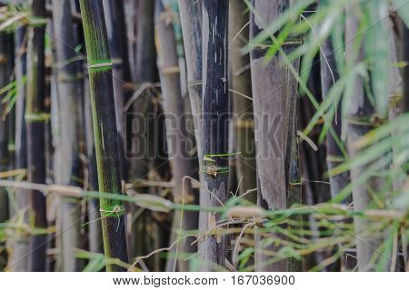 Back bamboo bamboo species that are rare.
