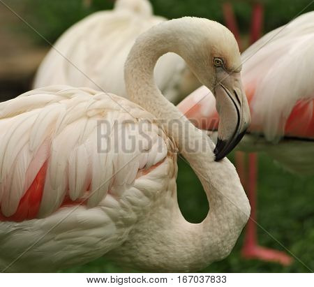 Group of pink birds preening its feathers. Close-up view of eye and beak of bird.