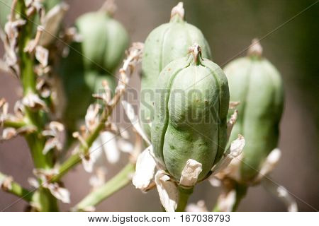 Green seed pods on a native plant in Midland Texas.