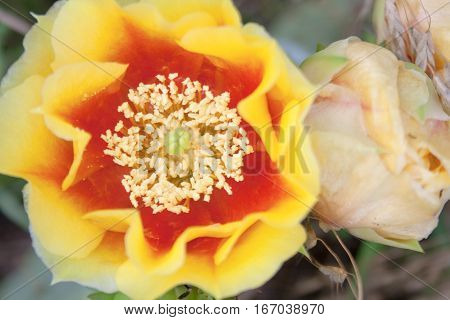 A yellow and red prickly pear cactus flower closeup with buds in background.