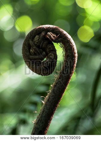 An unfurling head of the hapu'u native Hawaiian fern.
