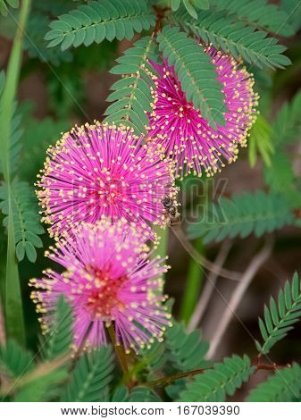 Three bright pink puffs of flowers on a mimosa tree.