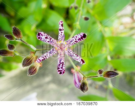 A purple spotted Japanese toad lily flower.