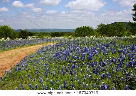 A clay road through a field of Bluebonnets near Willow, Texas in the Hill Country on a beautiful spring day.