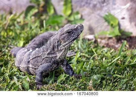 Closeup on the head of a black iguana in the grass