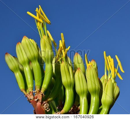 Floral buds of agave that begin to bloom