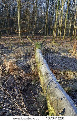 Frost on fallen tree in Beech woodland Forest of Dean Gloucestershire