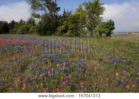 A field in central Texas blooms with Texas Paintbrush and Bluebonnets on a beautiful spring day.