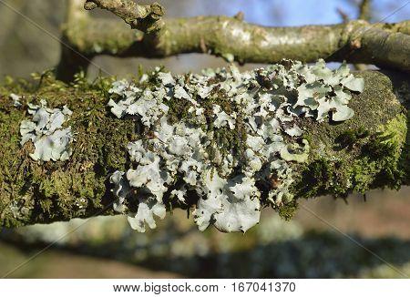 Parmelia Lichen on Oak Branch Forest of Dean