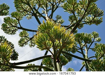 Large stem of agave in bloom, view from below
