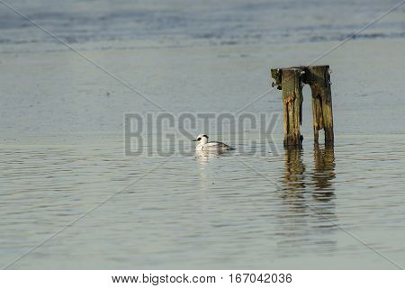 Smew (Mergellus albellus) drake swimming in a hole in the ice in a Lake
