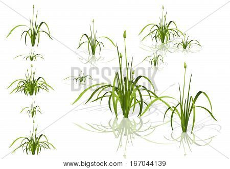 Vector isolated reed. Water plants in different variants with shadows and reflections in water. Isometric clumps of reeds growing on the edge of the pool and pond. Individual flowers bamboo reed.