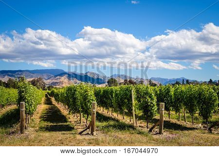 Landscape View Of Vineyard In Marlborough Wine Country, Nz