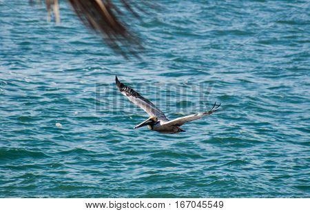 A pelican gliding just over the water