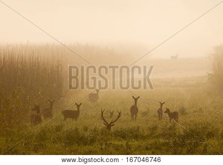 Red Deer With Hinds