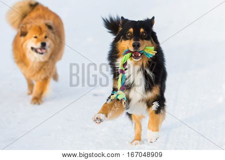 Dog With A Toy And Another Dog In Snow