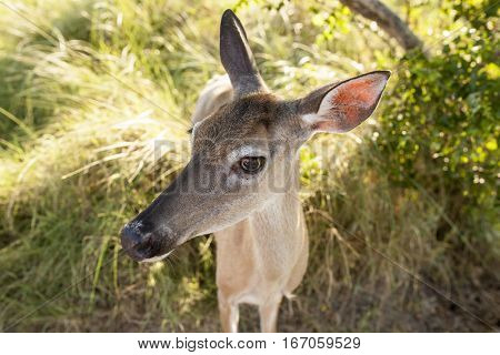 Extreme closeup wide angle shot of white tailed deer