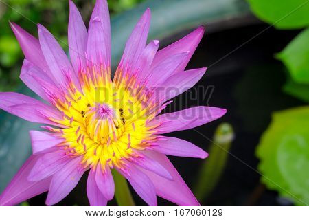 Colorful Of A Lotus.