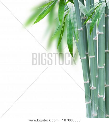 green bamboo with leaves with copy space isolated on white background