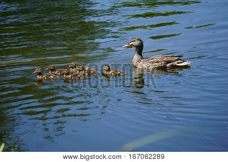 A mother mallard duck (Anas platyrhynchos) swims with her babies in a small lake in Joliet, Illinois during June.