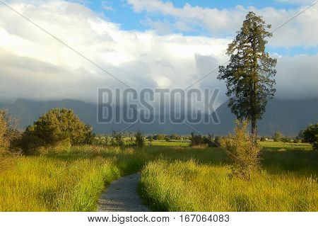 A sole pine tree along the foot path at Lake Matheson in the Glaciers Country on the South Island of New Zealand