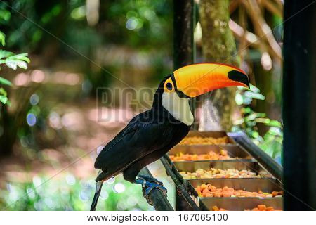The Toco Toucan sitting on the metal tube and eating fruit in Iguacu National Park of the Iguazu Falls, one of the worlds largest and most impressive waterfalls, Foz de Iguacu, Parana State, Brazil
