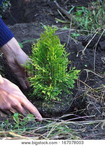 Gardener Hands Planting Cypress Thuja with Roots (Thuja Occidentalis Golden Brabant)