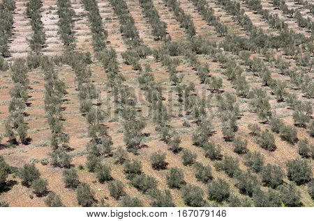 Aerial view of olive groves. Photo taken in Ciudad Real Province, Spain