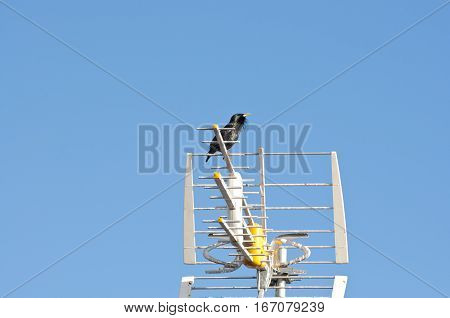 Male of Spotless Starling, Sturnus unicolor, perched on a TV antenna
