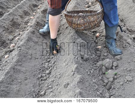 Farmer hand planting potatoes. Man planting potato field.