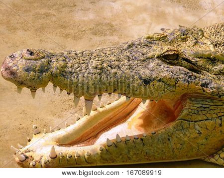 Crocodile head with open mouth and scary teeth