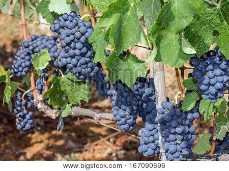 Grape clusters growing red vine grapes vineyard
