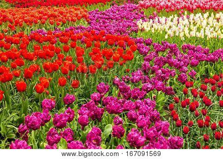 Tulip field - Keukenhof flower park, Holland, Netherlands