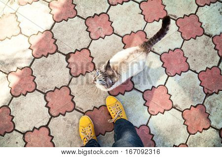 Thai cat and girl feet in yellow shoes top view. Siamese point color cat meowing upper view. Hungry pet asking for food