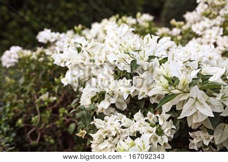White Bougainvillea lush flowers background. Lush blossoming bush green and white backdrop