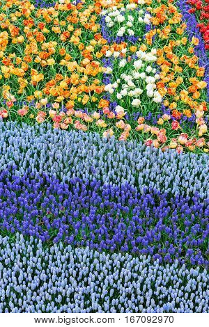 bluebell and tulips flowers abstract stripes background at dutch park Keukenhof, Netherlands