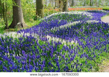 white and blue bluebell flowerbed river in dutch park Keukenhof, Netherlands