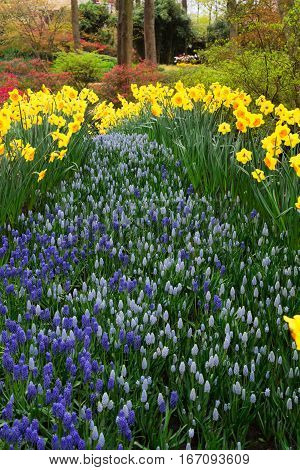 fresh yellow spring growing blooming daffodils and bluebells flowers river