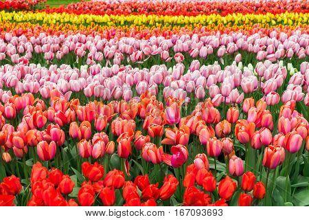 Rows of pink, red, orange and yellow growing tulips flowers in garden Keukenhof, Netherlands