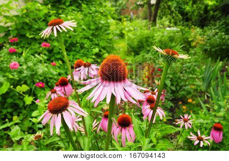 Echinacea purpurea and purple coneflowers flower bed. Garden Landscaping and Design Ideas.